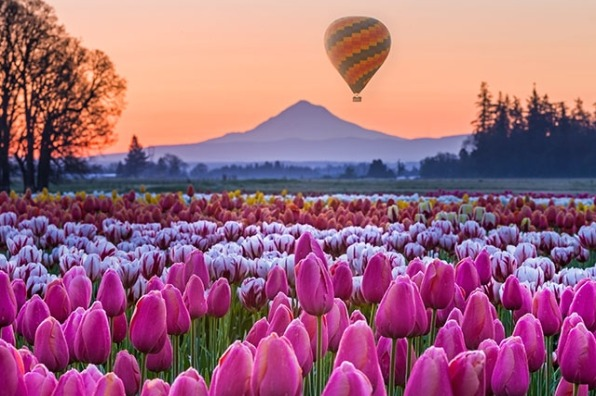 Balloon rises at the Wooden Shoe Tulip Festival at sunrise in Oregon's Mt. Hood Territory