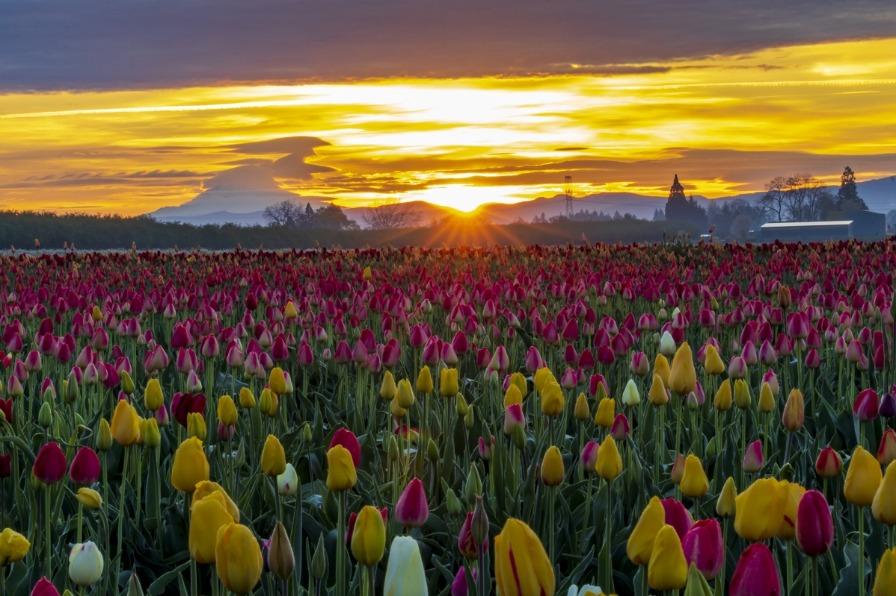Sunburst at Wooden Shoe Tulip Farm