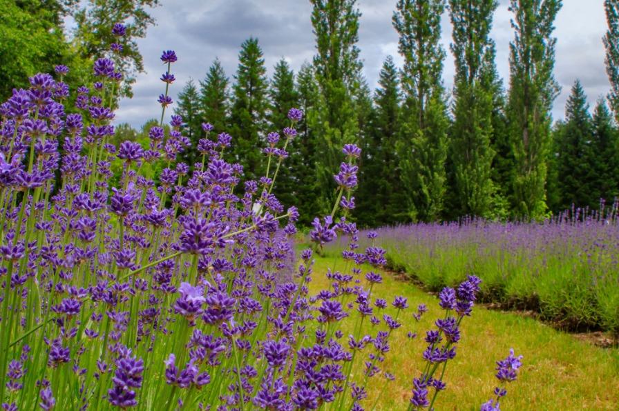Celebrate Lavender in Bloom
