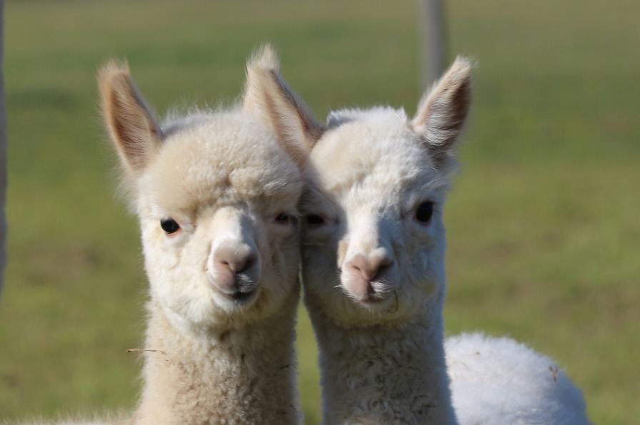 Baby alpacas at Marquam Hill Ranch