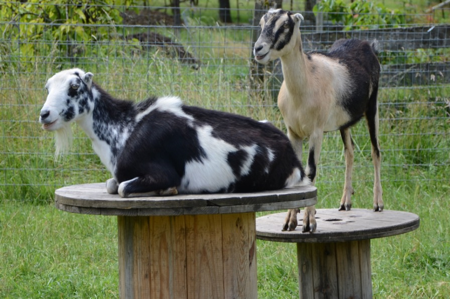 Goats on tables at Out in the Garden Nursery in Molalla