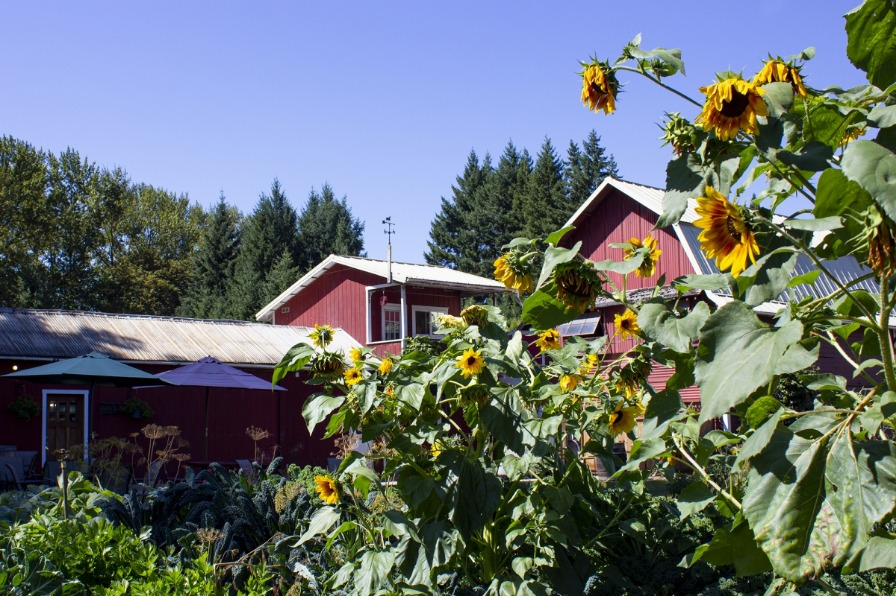 Sunflowers outside Hanson Vineyards tasting room