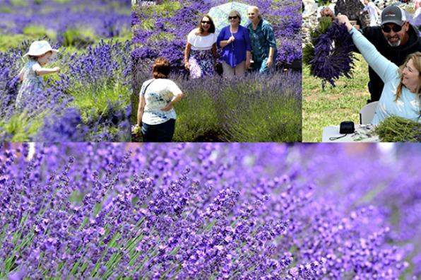 Clackamas County Lavender Festival