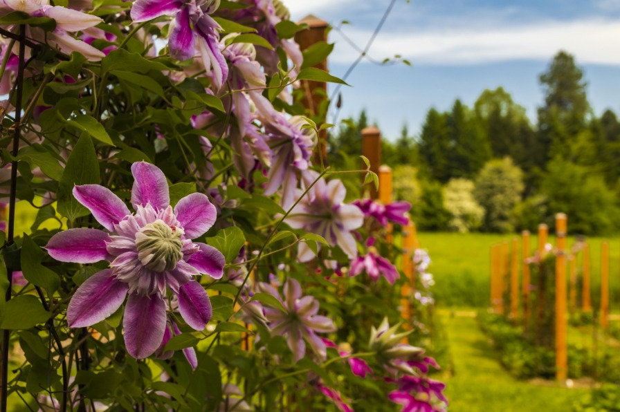 Variegated Pink and Purple Double Clematis Blooms