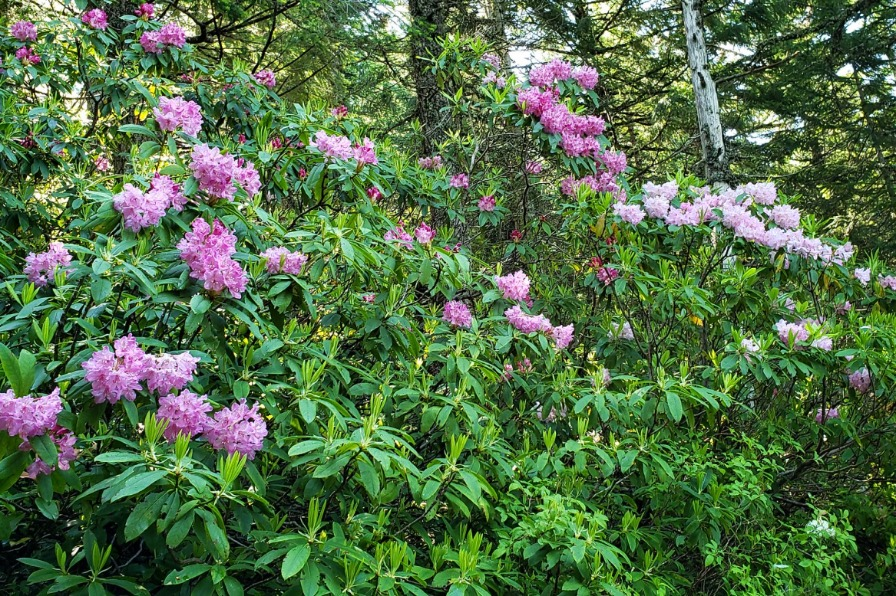 Table Rock Wilderness rhododendron blooms