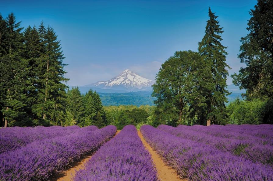 Field of Lavender, Mt Hood