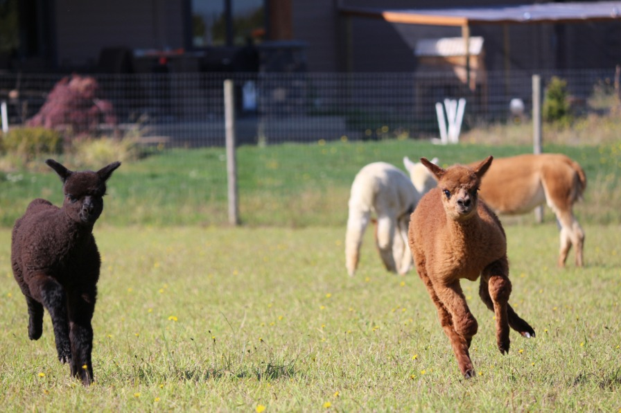 Alpacas at Marquam Hill Ranch Running Alpacas