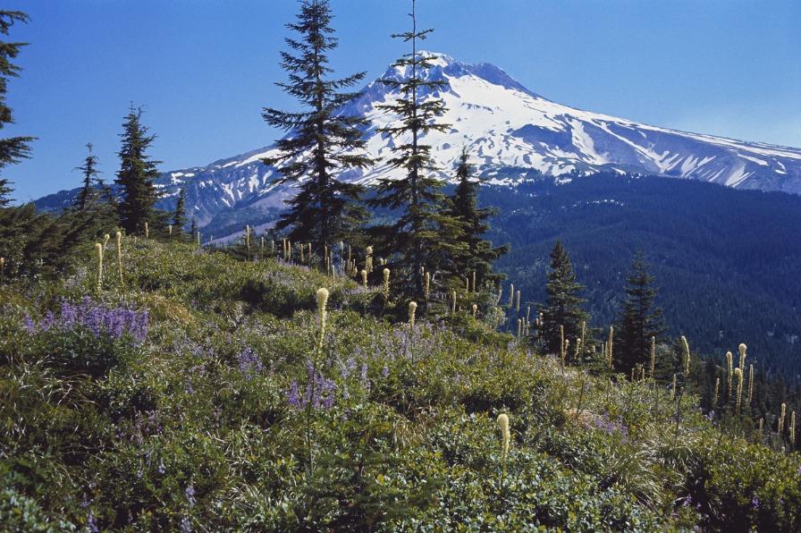 Mt. Hood Spring Wildflowers