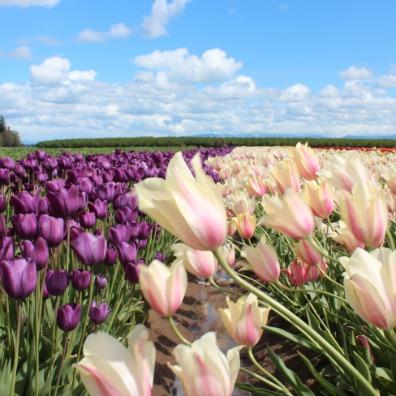 Wooden Shoe Tulip Field
