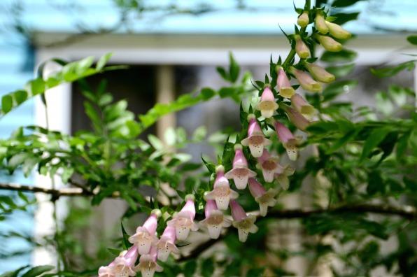 Out in the Garden Nursery Foxglove - Vertical