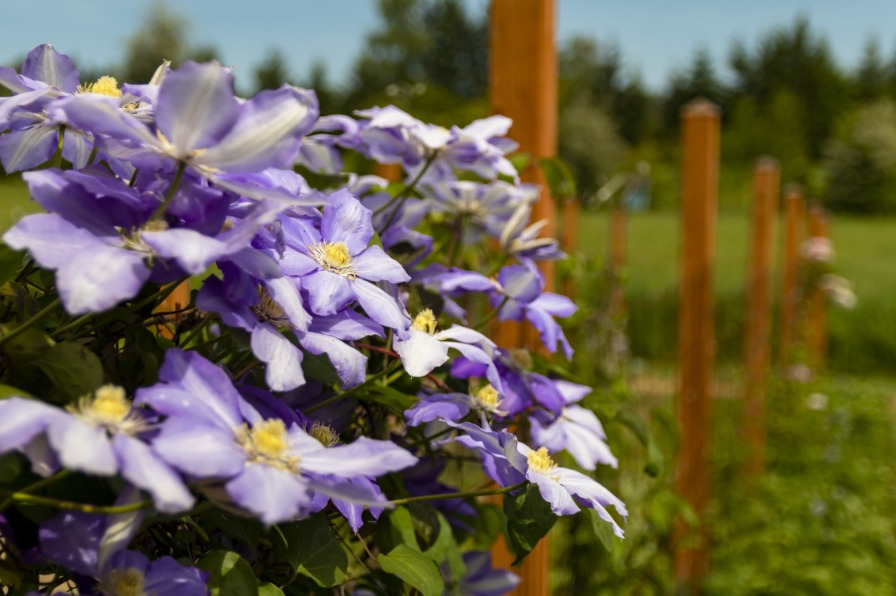 Blue Clematis Down the Line