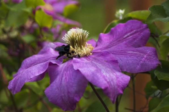 Bumblebee on Clematis Flower