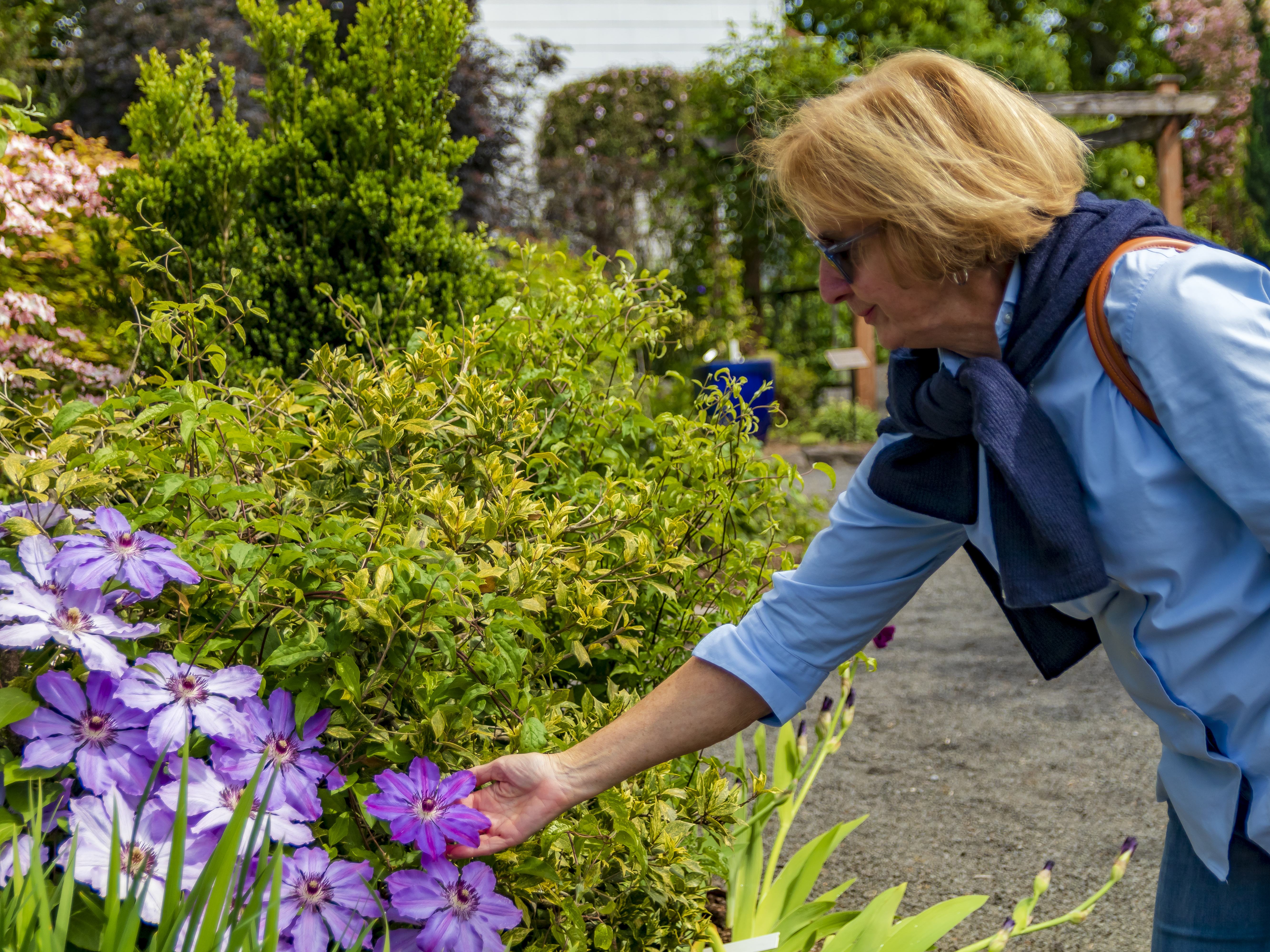 Visitor Admiring Blooms at Rogerson Clematis Garden