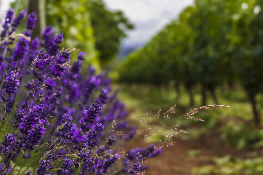 Purple Lavender and Rows of Grapevines