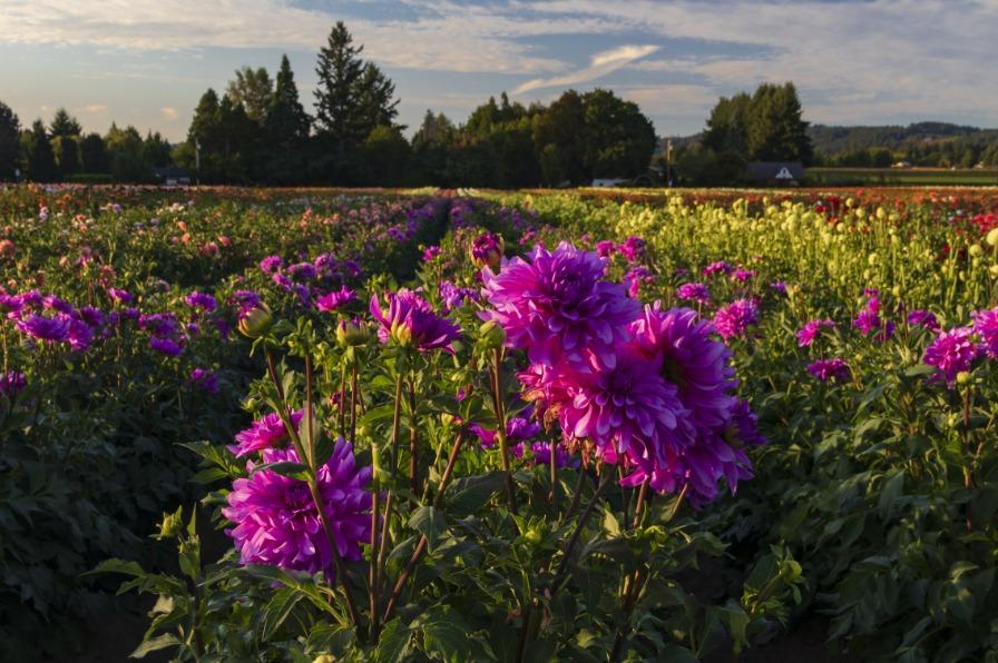 Dahlia Field in Bloom