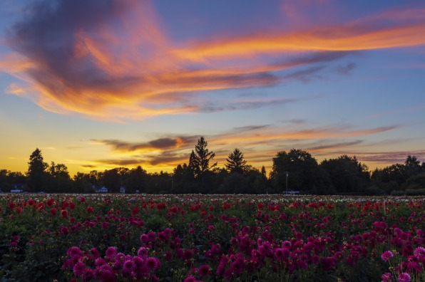 Pink Clouds at Sunset Over Dahlia Field