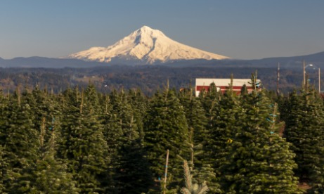 Mt Hood and Christmas Tree Farm