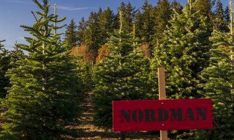 Nordman Christmas Trees