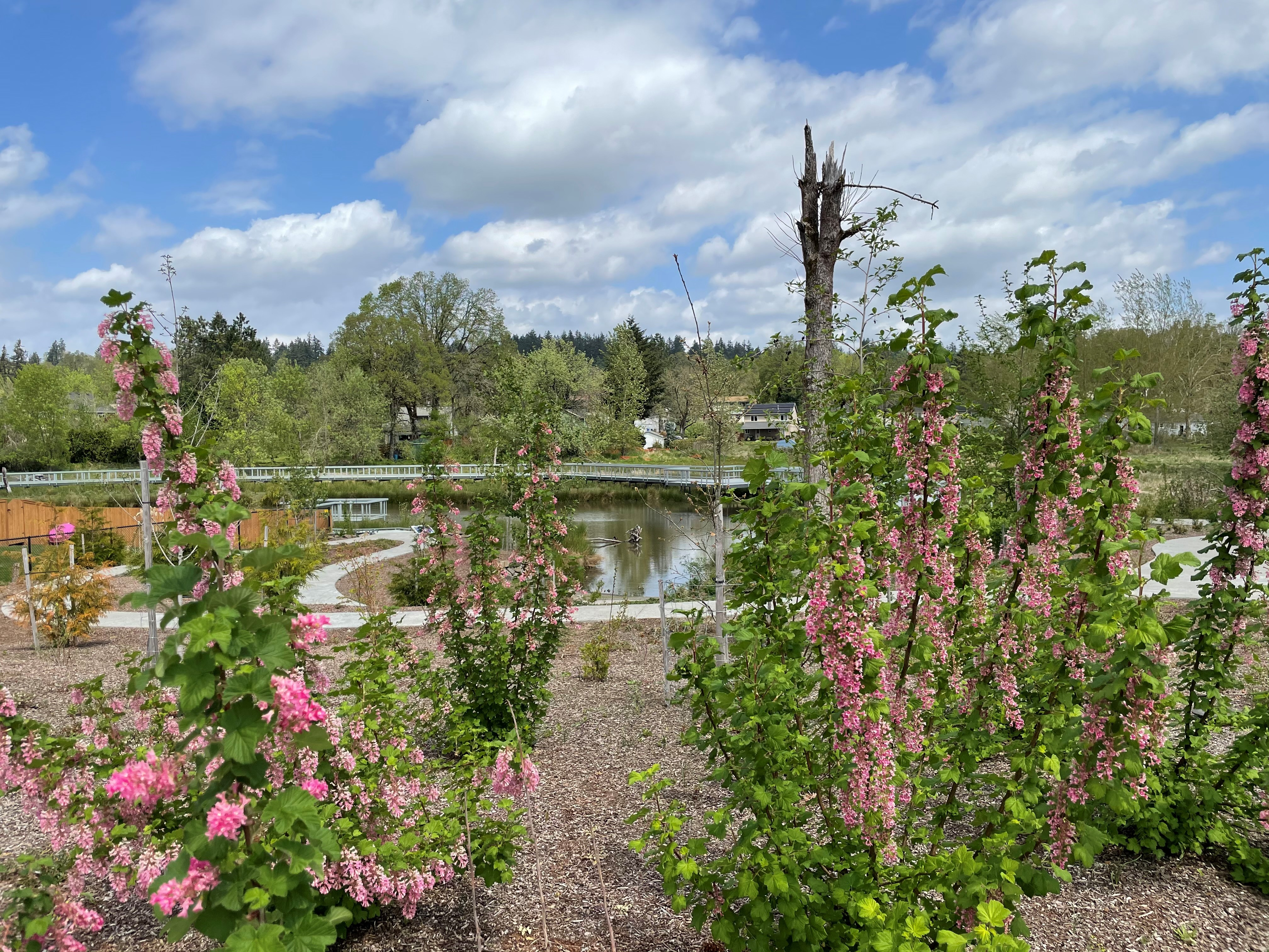 a view of wetlands and paved trails through tall stalks of pink flowers
