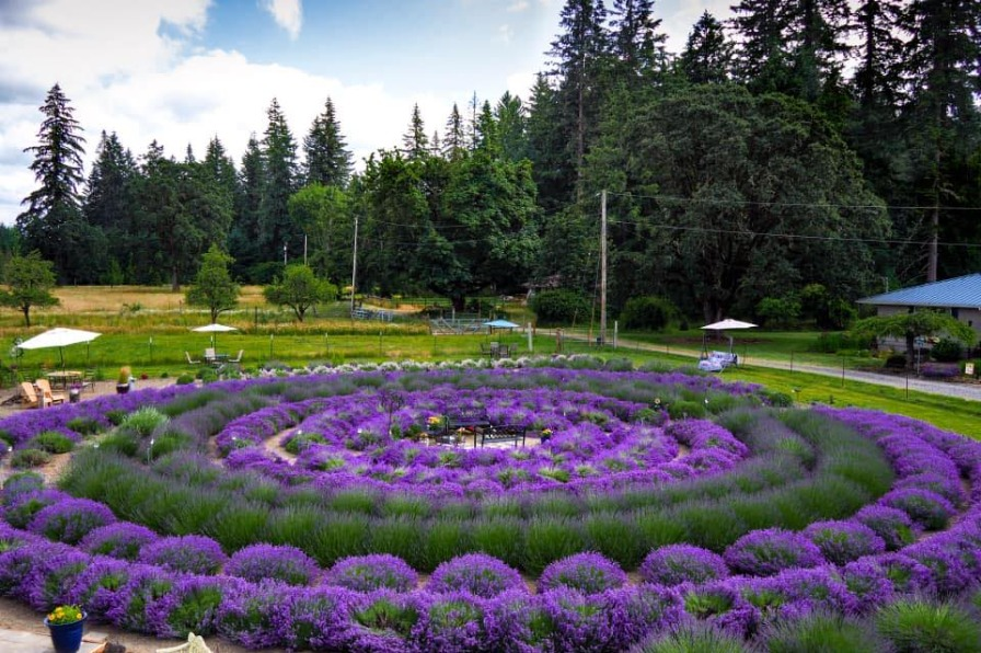 blooming lavender plants form multiple inner and outer circles of purple and green on a farm