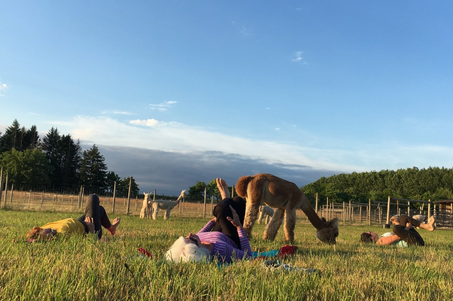 Class members doing yoga on their mats in the middle of pasture with alpacas eating grass among them