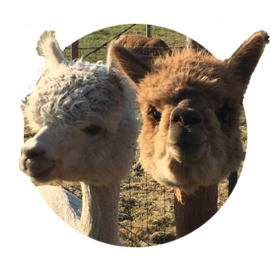 Close-up of two curious alpacas, one tan and one reddish brown, who have been sheared except for their fluffy heads.