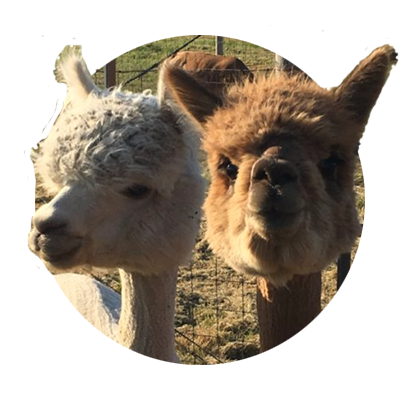 ed3c78d5c9af3 Close-up of two curious alpacas, one tan and one reddish brown, who
