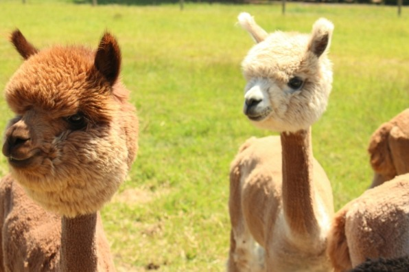 Newly sheared reddish brown and beige alpacas with fluffy heads in green pasture at Alpacas at Marquam Hill Ranch