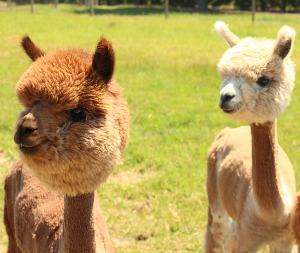 Newly sheared alpacas with fluffy heads