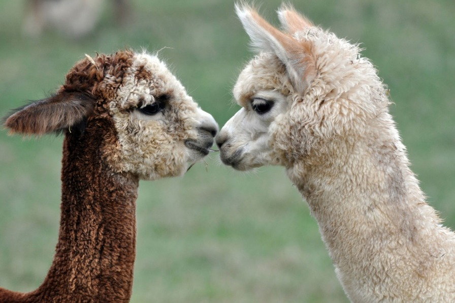 Two alpacas, one brown and one tan, look into each other's eyes, nuzzle their noses and kiss.