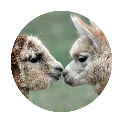 Close-up sideview of two curly brown headed alpaca faces nuzzling noses or kissing