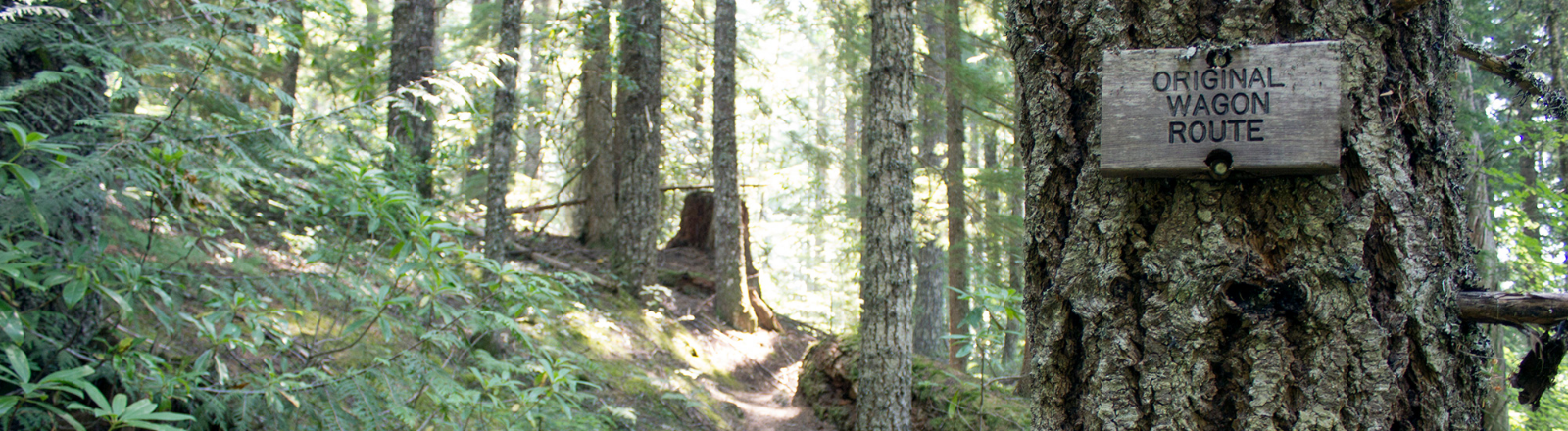 Old growth forest path on Barlow Road with small sign on tree noting original wagon route