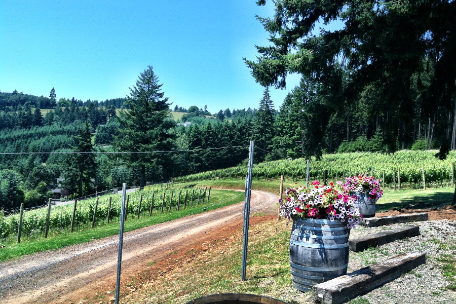 Gravel road passing through Beckham Estate Vineyard and its parking lot with wine barrels filled with colorful petunias