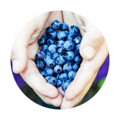 Cupped hands holding freshly picked blueberries