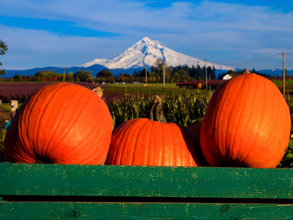 Three big pumpkins are in front with snow covered Mt. Hood in far distance across corn and berry fields at Bushue Family Farm