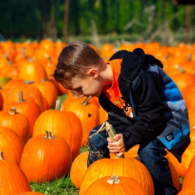 Young boy amidst hundreds of big orange pumpkins struggles to lift the one he has chosen to take home from Liepold Farms