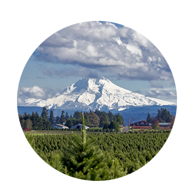 Hundreds of trees fill the field at a Christmas tree farm as passing clouds cast shadows across snow on distant Mt. Hood.