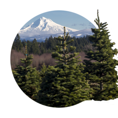 View of snow covered Mt. Hood and distant Cascade foothills seen from a Christmas tree farm in Oregon's Mt. Hood Territory