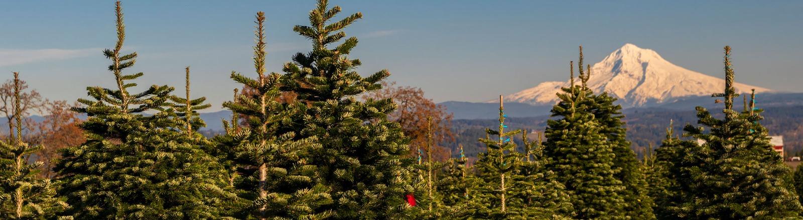 Christmas Tree U Cut 2020 Near Damascus Or Find U cut Christmas Trees in Oregon's Mt Hood Territory