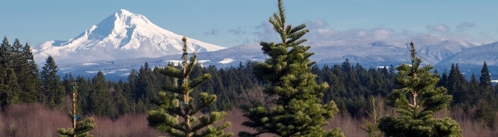11,245 ft. Mt. Hood is seen against the blue sky from one of Oregon Mt. Hood Territory's many U-cut Christmas tree farms