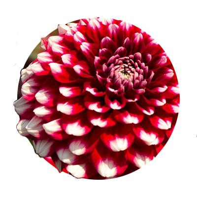 Circular close-up photo of Checkers, a red with white tips dahlia bloom, one of the thousands found at Swan Island Dahlias.