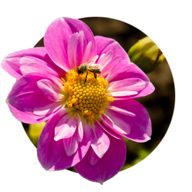 Pink dahlia with a honey bee perched on its yellow center at Swan Island Dahlias in Oregon's Mt. Hood Territory..