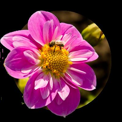 pink dahlia and bee oregon's mount hood territory