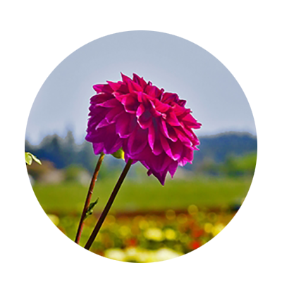 Two magenta dahlia blooms at Swan Island Dahlias in Canby.