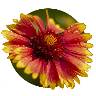 red and yellow Daisy at Bosky Dell Natives in West Linn