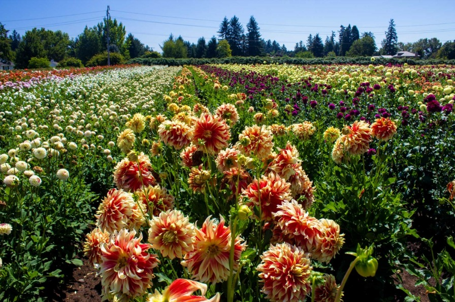 Field of dazzling dahlias with blooms of purple, white, red, pink and variegated red & yellow at Swan Island Dahlias in Canby