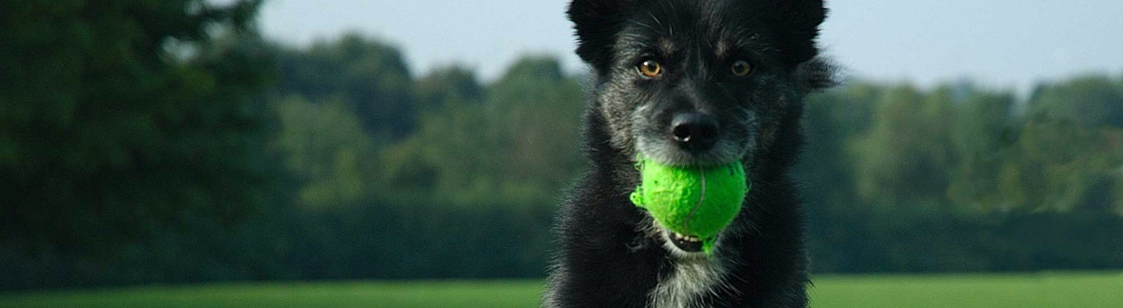 Black and white shepherd dog with green tennis ball in mouth bounds across green grassy area at dog park