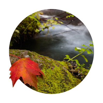 Fall color leaf on mossy rock Zigzag River Oregon's Mount Hood Territory