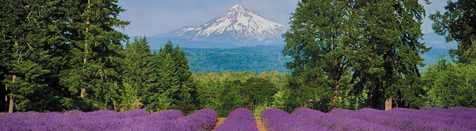 rows of lavender with Mt. Hood Oregon Lavender Festival
