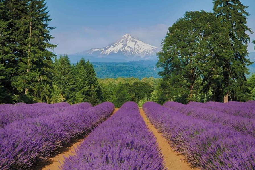 rows of lavender with Mt. Hood in background during Oregon Lavender Festival